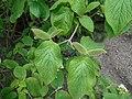 Viburnum veitchii 2016-05-09 9615.jpg
