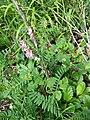 Vicia dumetorum sl18.jpg