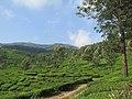 Views around Munnar, Kerala (106).jpg