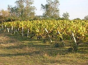 Vendée - A vine in Brem-sur-Mer.