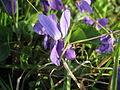Vijolica - Viola odorata.JPG