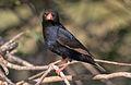 Village indigobird, Vidua chalybeata, at Mapungubwe National Park, Limpopo, South Africa (male) (18037415615).jpg