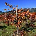 Vineyard in Napa Valley 5.jpg