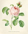 Vintage Flower illustration by Pierre-Joseph Redouté, digitally enhanced by rawpixel 38.jpg