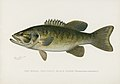 Vintage illustrations by Denton from Game Birds and Fishes of North America digitally enhanced by rawpixel 41.jpg