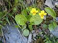 Viola biflora01.jpg