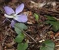 Viola grypoceras (flower).jpg