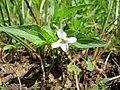 Viola persicifolia inflorescence (01).jpg