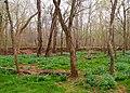 Virginia Bluebells - Mertensia virginica, Merrimac Farm Wildlife Management Area, Aden, Virginia.jpg