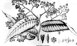 Virola - Virola elongata Illustration 1860
