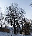 Vranov u Brna, chráněný strom.JPG