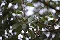 Vrste biljaka u svetosavskom parku u Nišu (5).jpg
