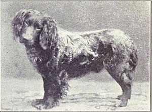 German Spaniel - A German Spaniel photographed in 1915.