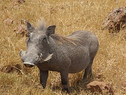 Warthog Ngorongoro 03