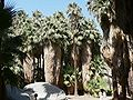 Washingtonia filifera grove.jpg