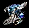 Wasp, Perilampid, U, Side, MD, Boonesboro 2013-07-02-18.44.44 ZS PMax (11213325235).jpg