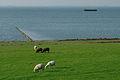 Wasserkoog Tetenbüll Deich Schafe Küstenschutz 20.08.2011 17-27-45.jpg
