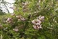 Weigela hortensis 02.jpg