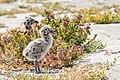 Western Gull Chick (42181584174).jpg