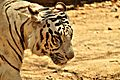 While Tiger Alert.jpg