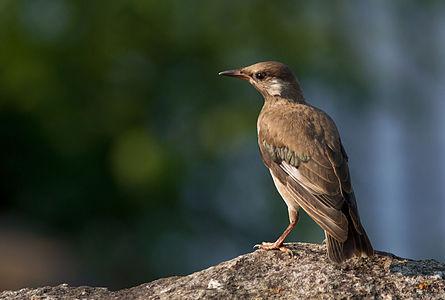 White-cheeked Starling (Hybrid)