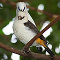 White-headed Buffalo-weaver Dinemellia dinemelli 2000px.jpg