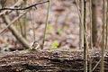 White-throated sparrow (24960783986).jpg