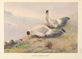 White Eared-Pheasant by George Edward Lodge.png