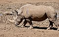 White Rhino (Ceratotherium simum) male coming to drink ... (50217100413).jpg