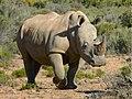White Rhinoceros1.jpg