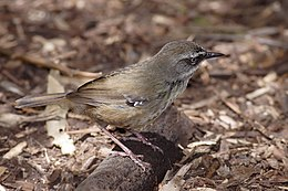 White browed scrubwren edit1.jpg