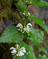 White deadnettle (Lamium album) (4732409636).jpg