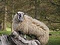 White ewe.jpg