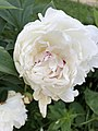 White peony from Bulgaria.jpg