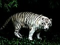 White tiger jungle.jpg
