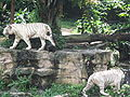 White tigers, Singapore Zoo 4.JPG