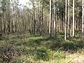 Whortleberries and pine trees - geograph.org.uk - 1752405.jpg