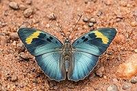 Widespread forester (Euphaedra medon medon) male.jpg
