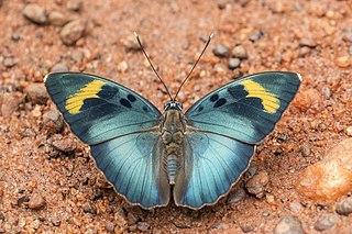 <i>Euphaedra medon</i> Species of butterfly