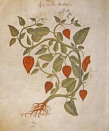 Семена Физалис обыкновенный (Physalis alkekengi)