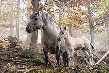 Fotografie a unui ponei gri și a mânzului ei într-o pădure de toamnă.