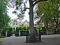Wilhelminaboom Gouda Houtmansplantsoen Gouda.jpg