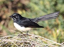 Willie wagtail.jpg