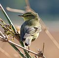 Willow Warbler. Phylloscopus trochilus - Flickr - gailhampshire.jpg