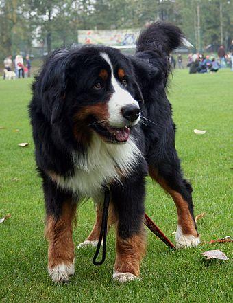 Bernese Mountain Dog - WikiMili, The Free Encyclopedia