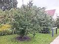 Wzwz tree 11g Cornus mas.jpg