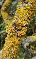 Xanthoria parietina - Flickr - gailhampshire.jpg