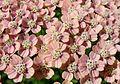 Yarrow (Achillea millefolium) - Flickr - gailhampshire.jpg