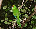 Yellow-crowned-Parakeet-Routeburn.jpg