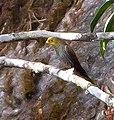 Yellow-rumped Honeyguide Khangchendzonga National Park West Sikkim Sikkim India 17.02.2016, crop.jpg
